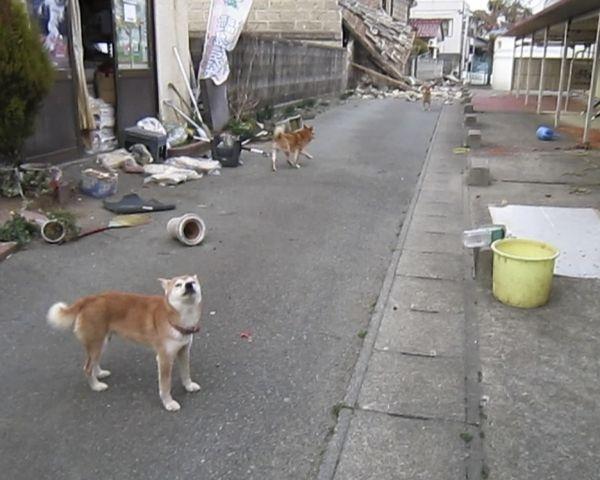 [写真]東日本大震災発生後、被災地に向かった「犬猫みなしご救援隊」。避難所に連れ込めずに放置された犬や猫の中には、首輪につながれ身動きがとれずに命を落とした子も。